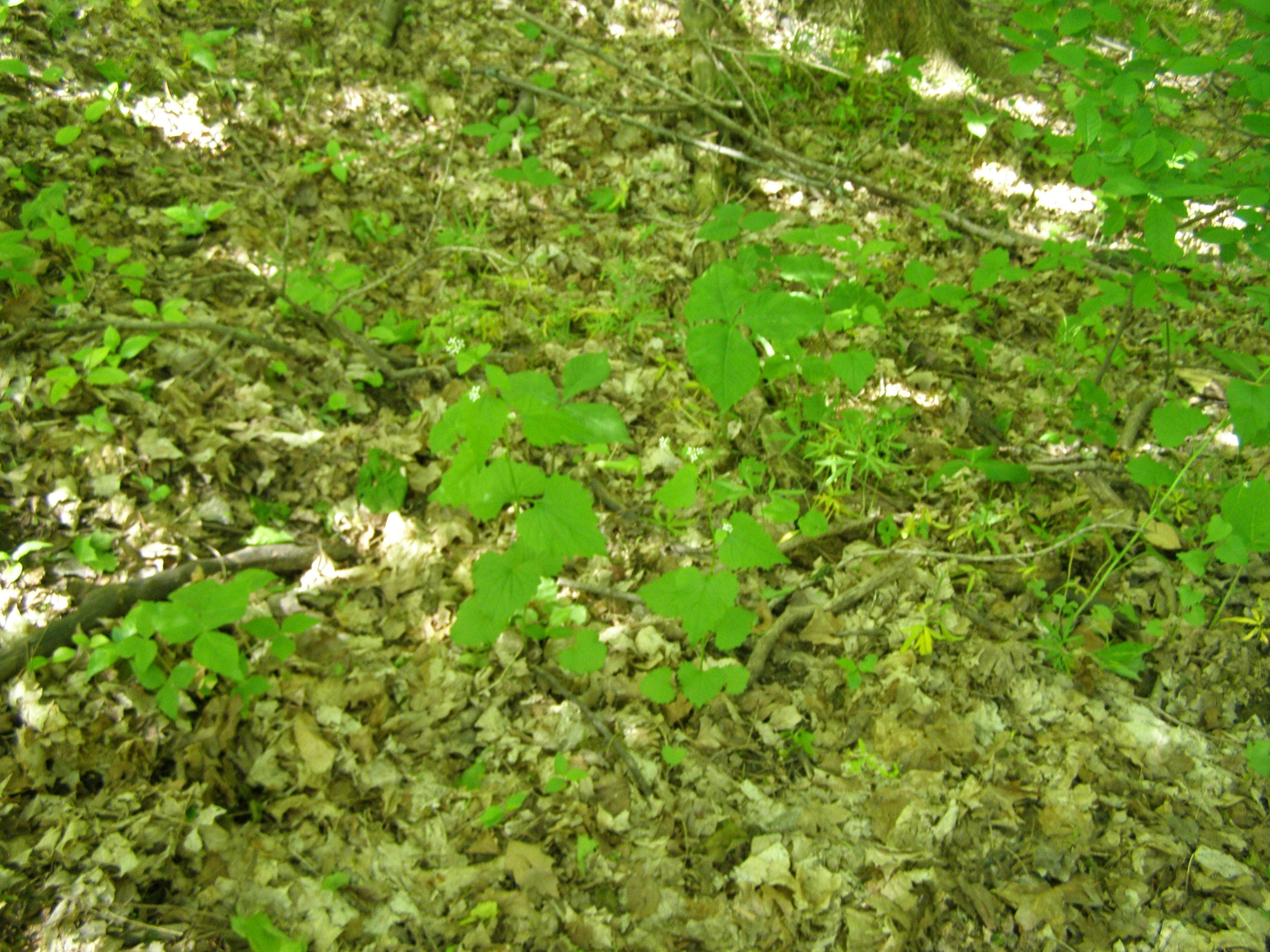 File beech maple forest floor g wikimedia