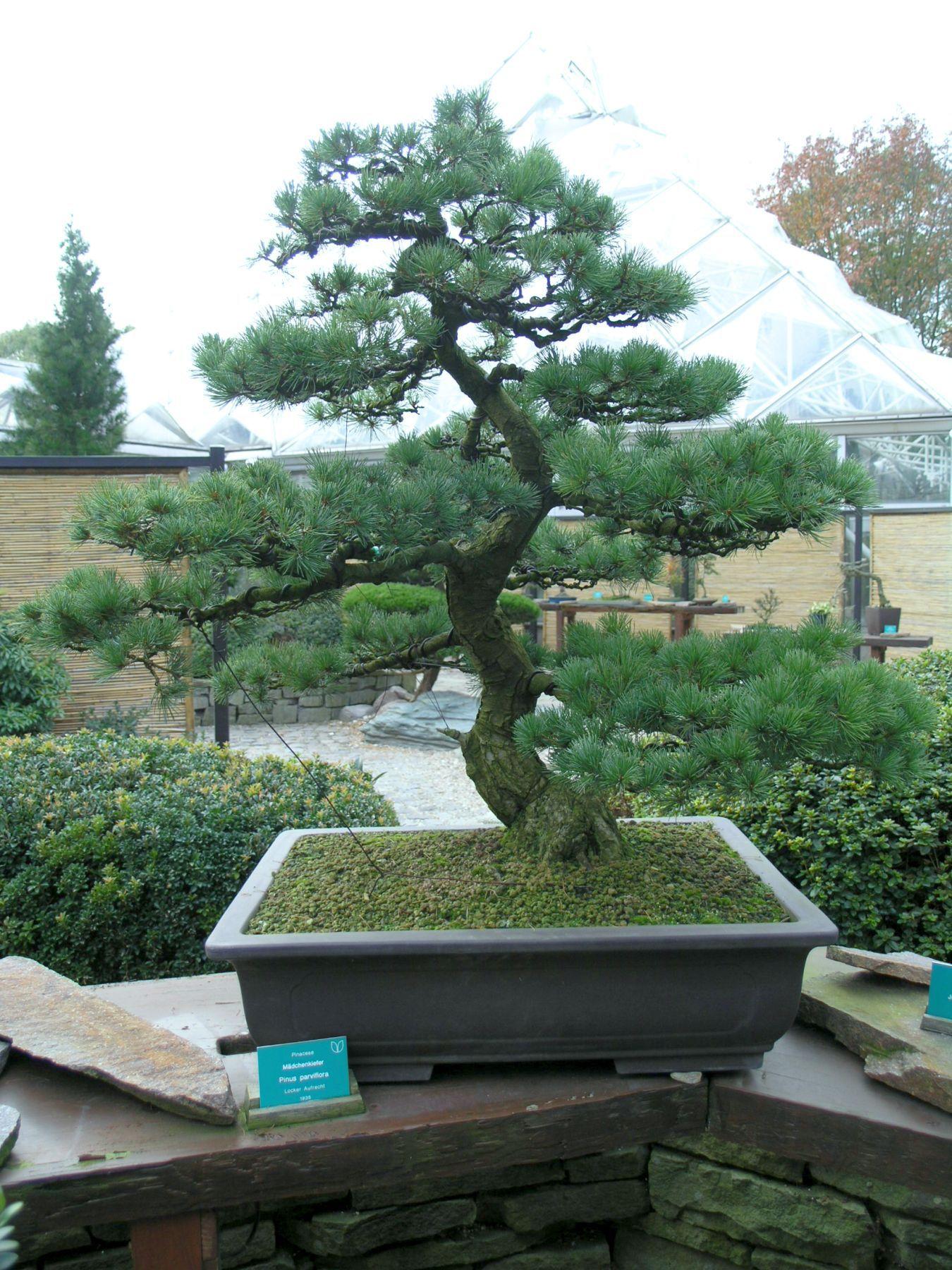 verlieren bonsai im herbst blätter