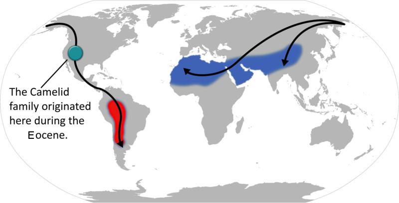Le lama, animal domestique des Andes Camelid_origin_and_migration