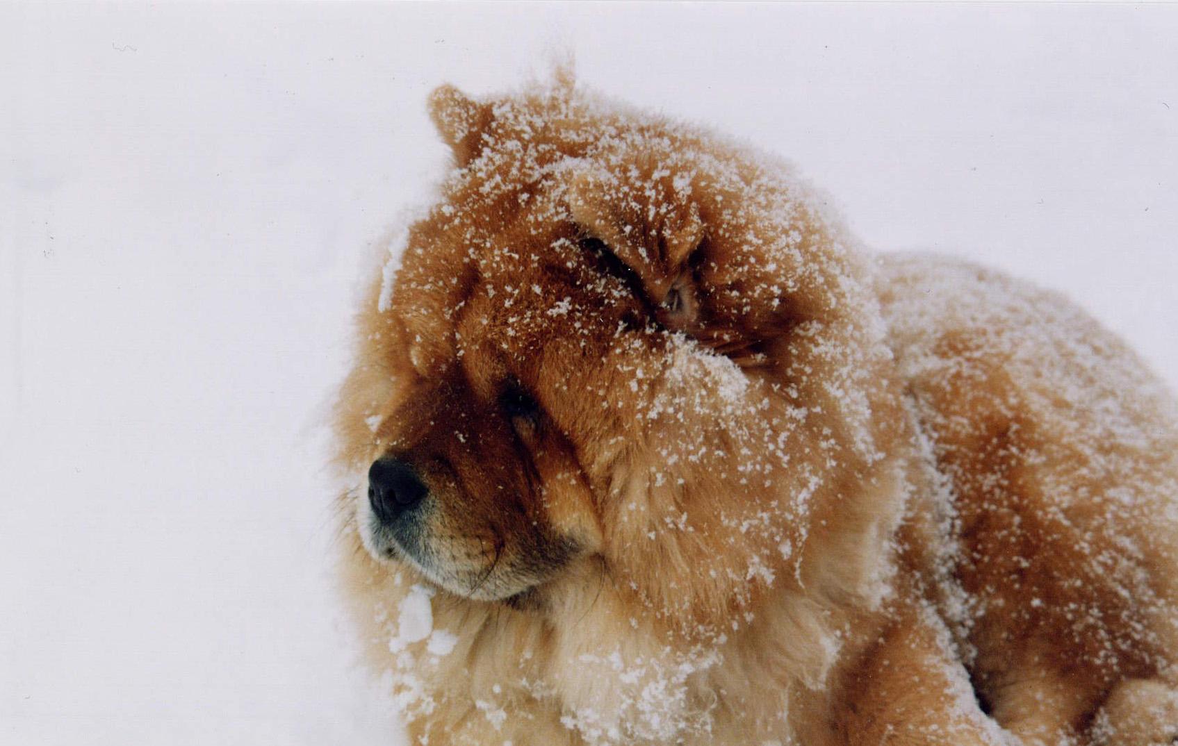 Resultado de imagen para chow chow snow