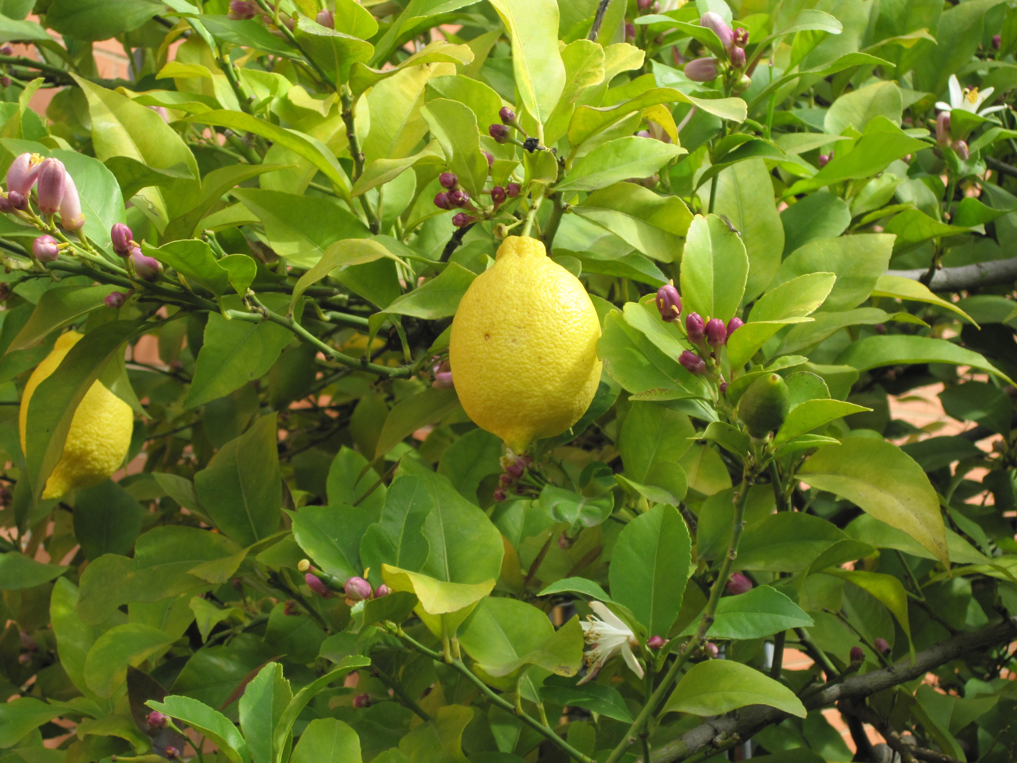 Similiar arbol de limon keywords for Viveros frutales wikipedia