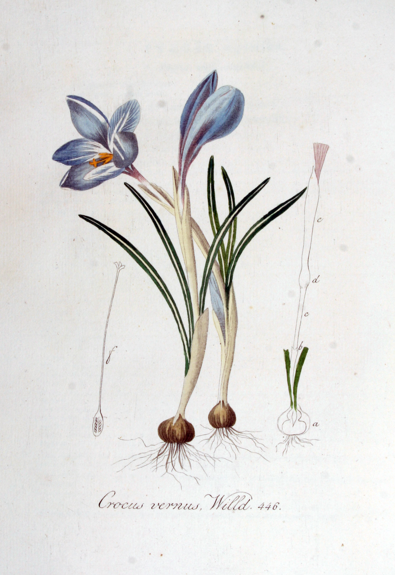 file crocus vernus flora batava volume. Black Bedroom Furniture Sets. Home Design Ideas