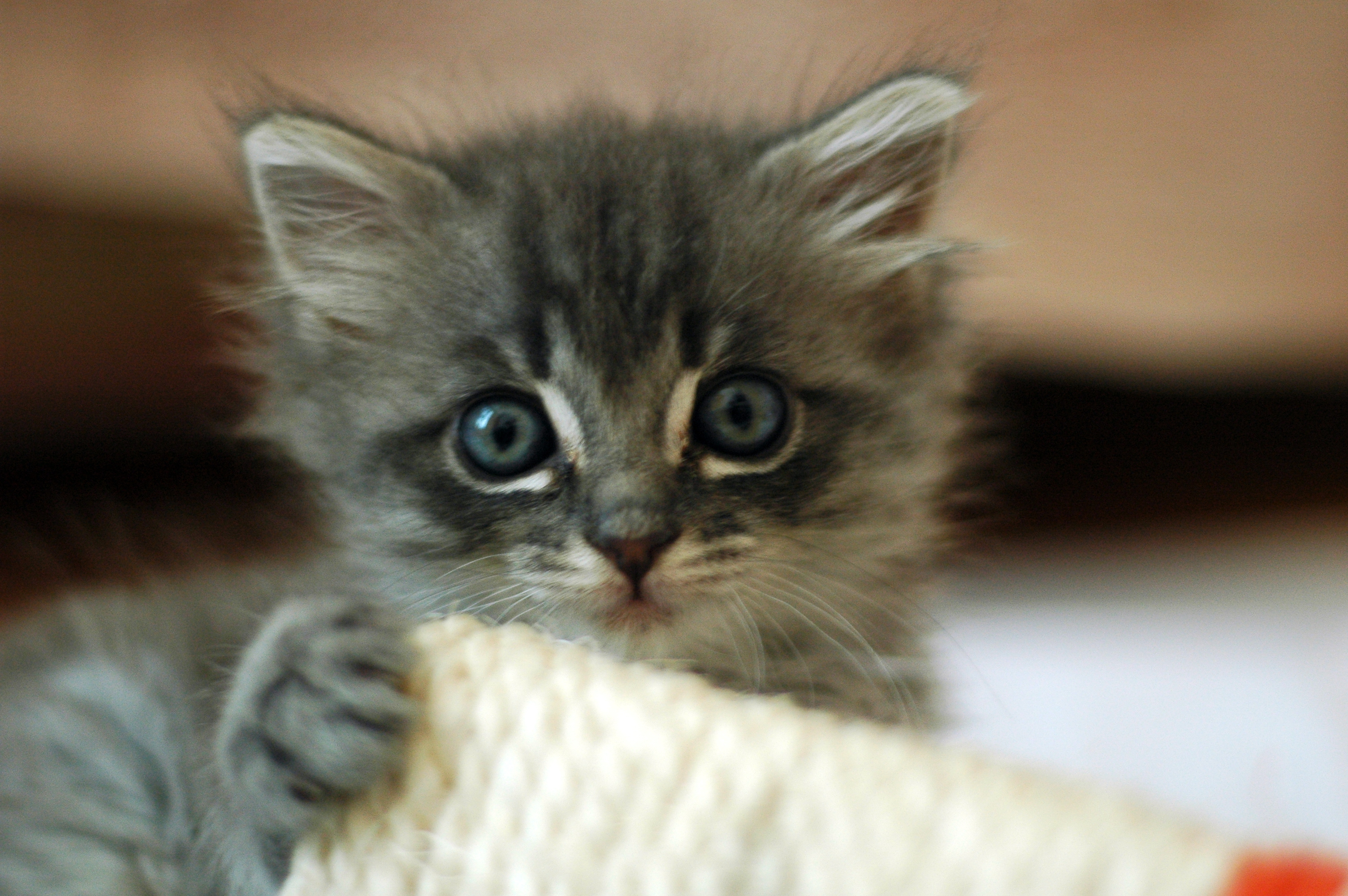 File Cute grey kitten Wikimedia mons