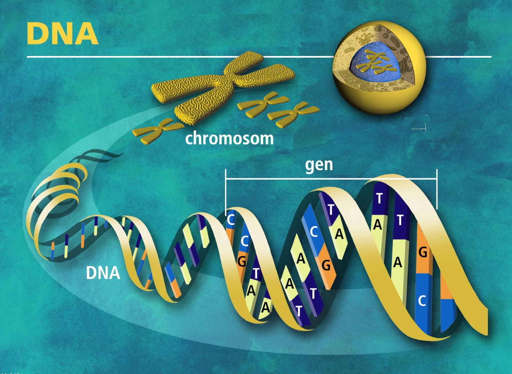 Molécula de DNA. Fuente: Wikimedia