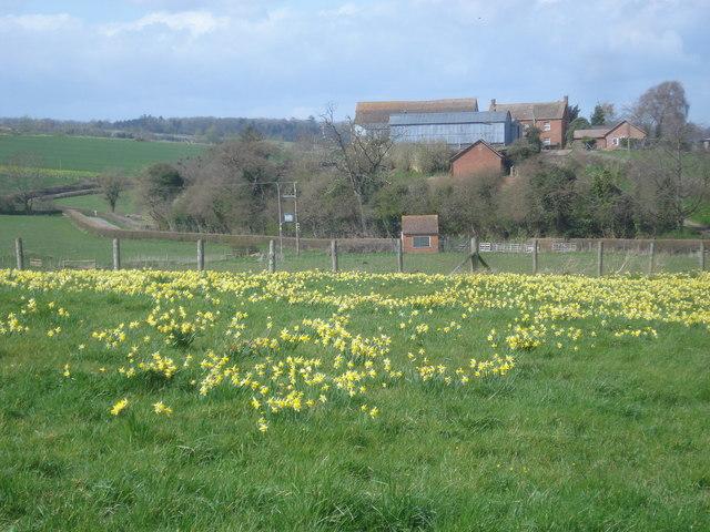 Daffodil field just off the Daffodil Way - geograph.org.uk - 769964