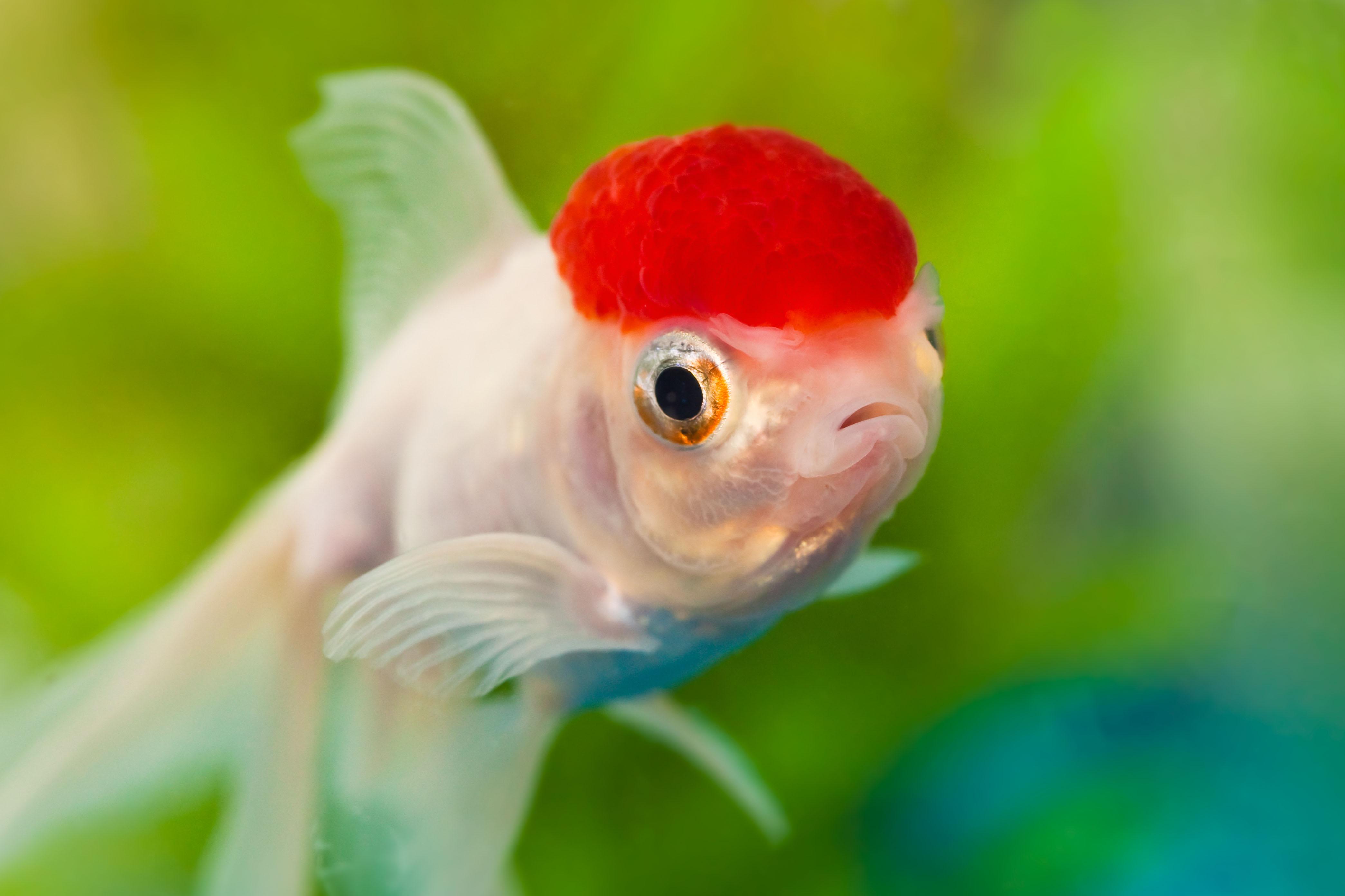 File dazed again 4972630499 jpg wikimedia commons for Longest living fish