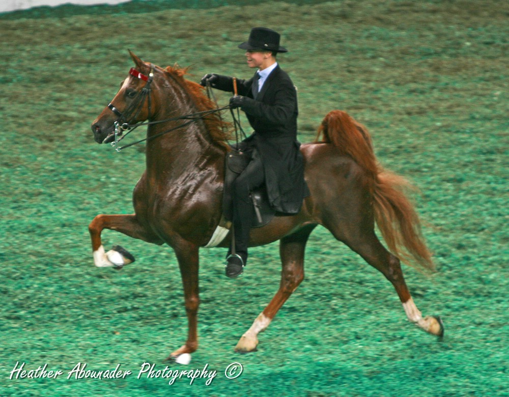 Présentation de Chuna56 - Page 18 Five_Gaited_American_Saddlebred_performing_the_Rack