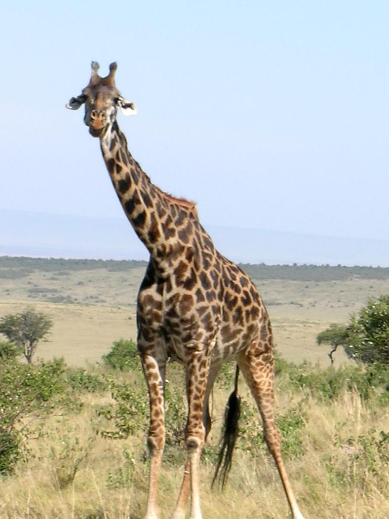 [Jeu à points]KECKECKECHAW (samedi) - Page 8 Girafe_Kenya