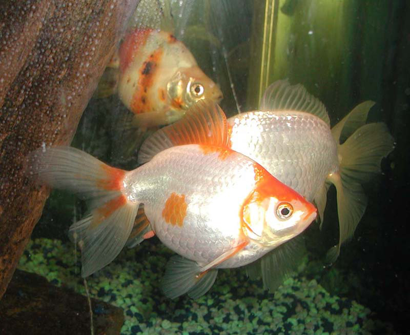 goldfish. File:Goldfish.jpg - Wikipedia,