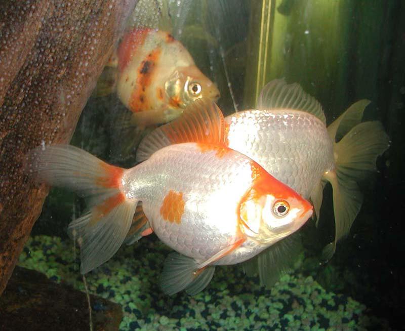 Poisson rouge wiktionnaire for Poisson rouge aquarium