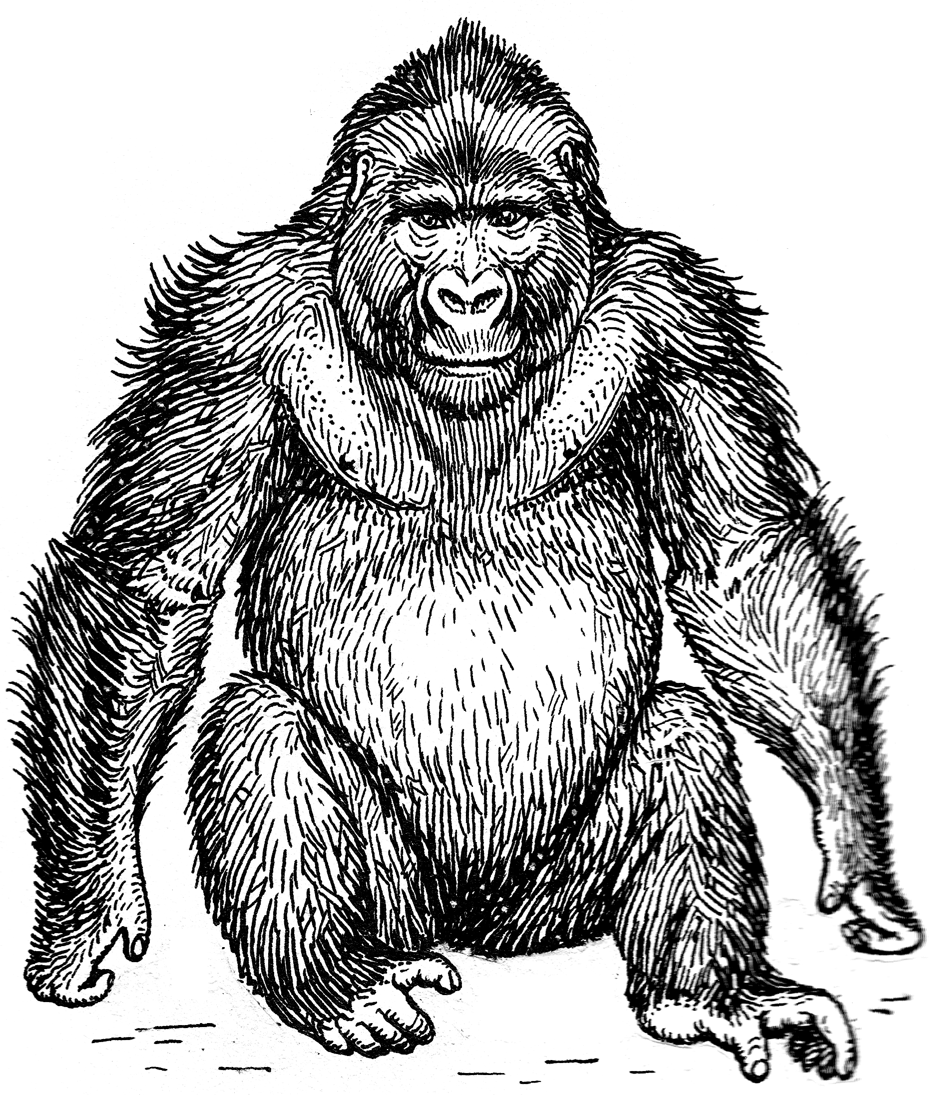 Gorilla Face Line Drawing : New how to draw a gorilla