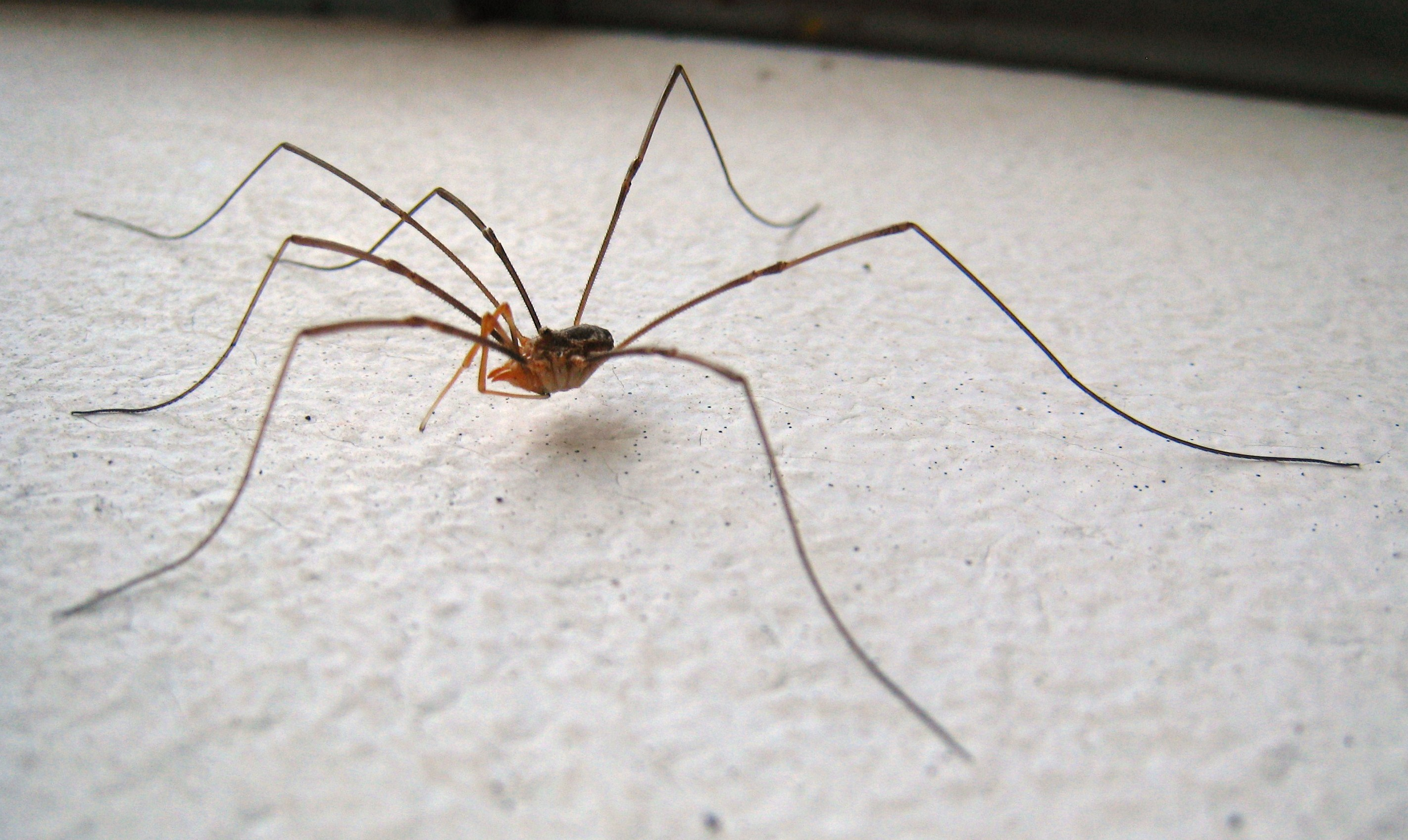 Can Daddy Long Legs Bite Dogs