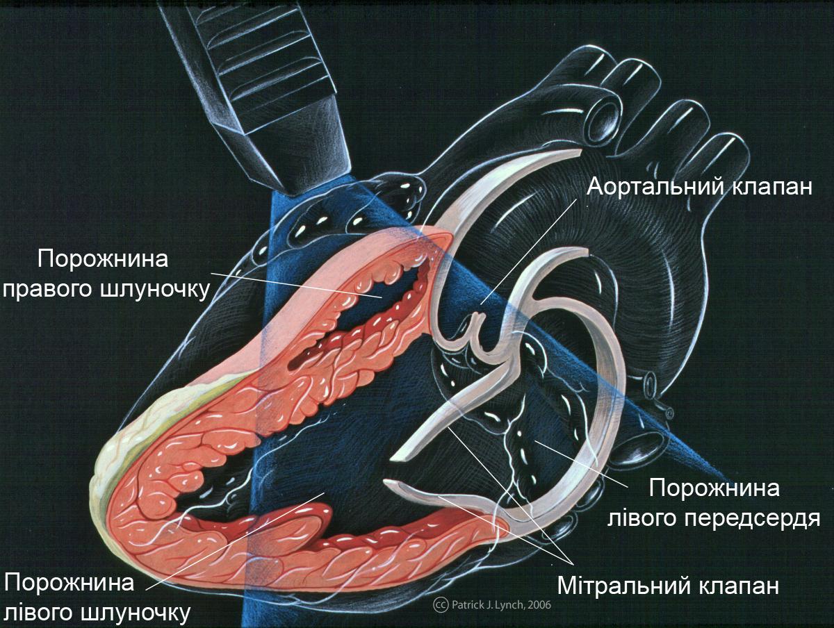 File:Heart lpla echocardiography diagram(ukrainian).jpg ...