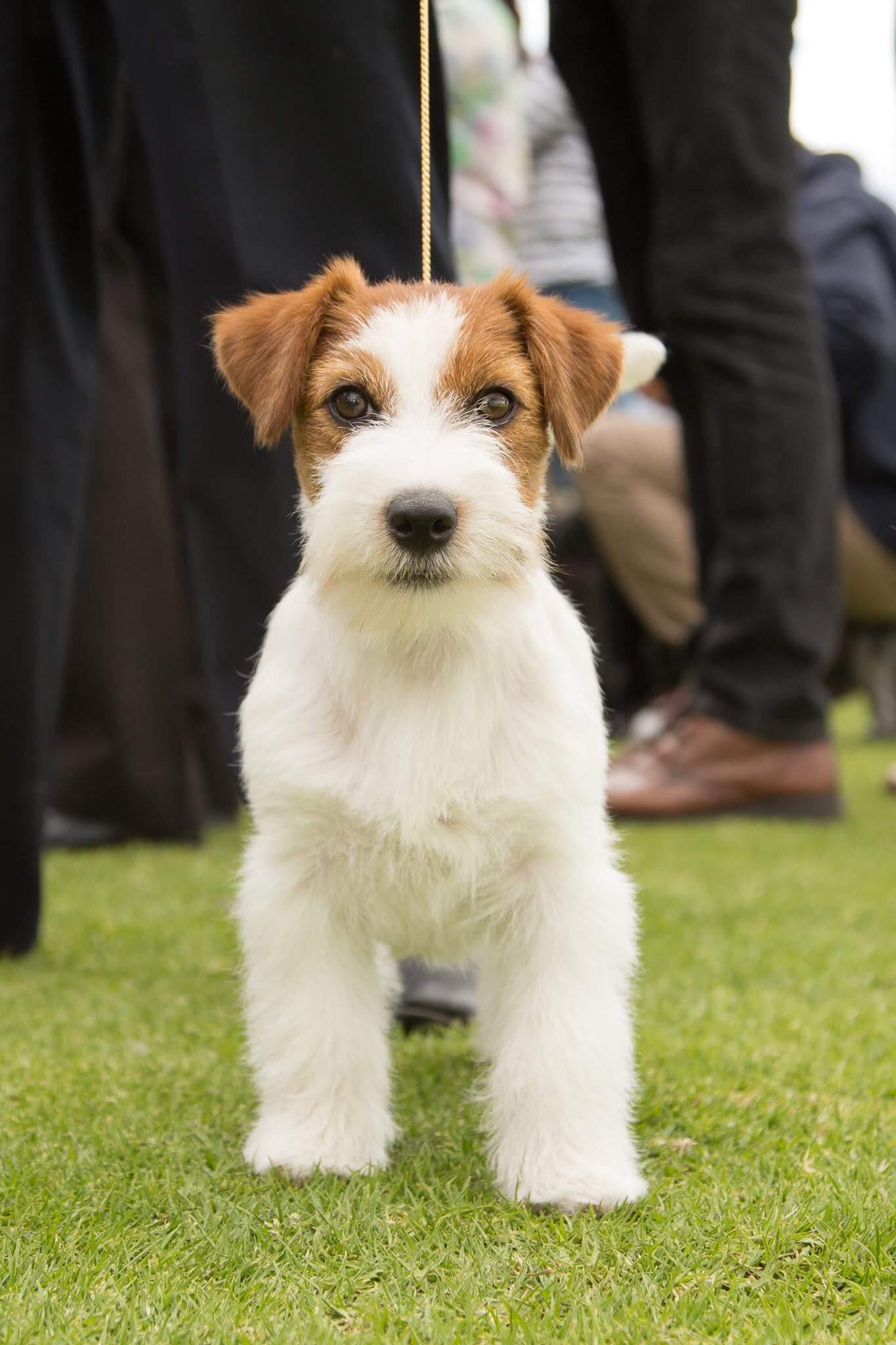 Jack Russell terrier - Wikipedia 1bd49844b64