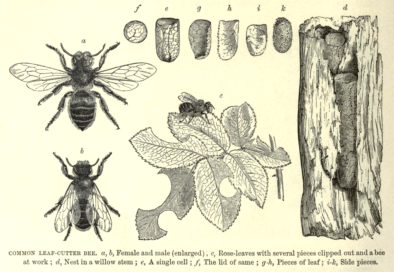 Leaf-cutter Bees and Nests