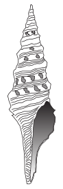 Lophiotoma cerithiformis shell.png