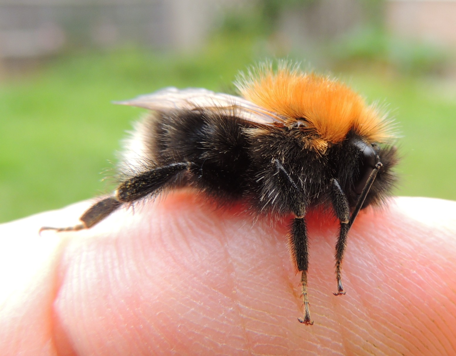 file male bumblebee bombus hypnorum on a finger sandy