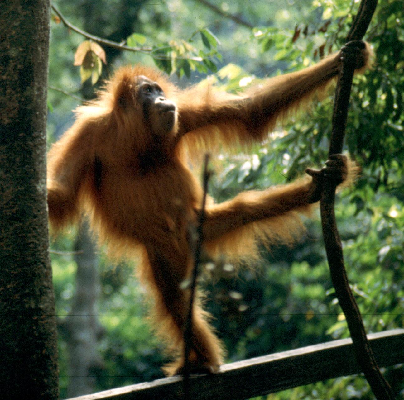The critically endangered Sumatran orangutan