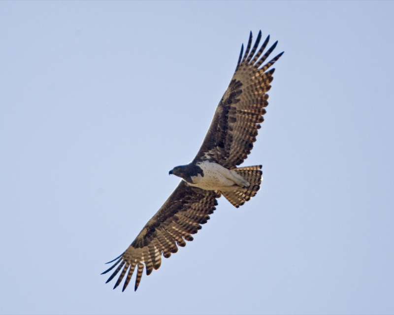 File:Martial Eagle (Polemaetus bellicosus) - Flickr - Lip ...