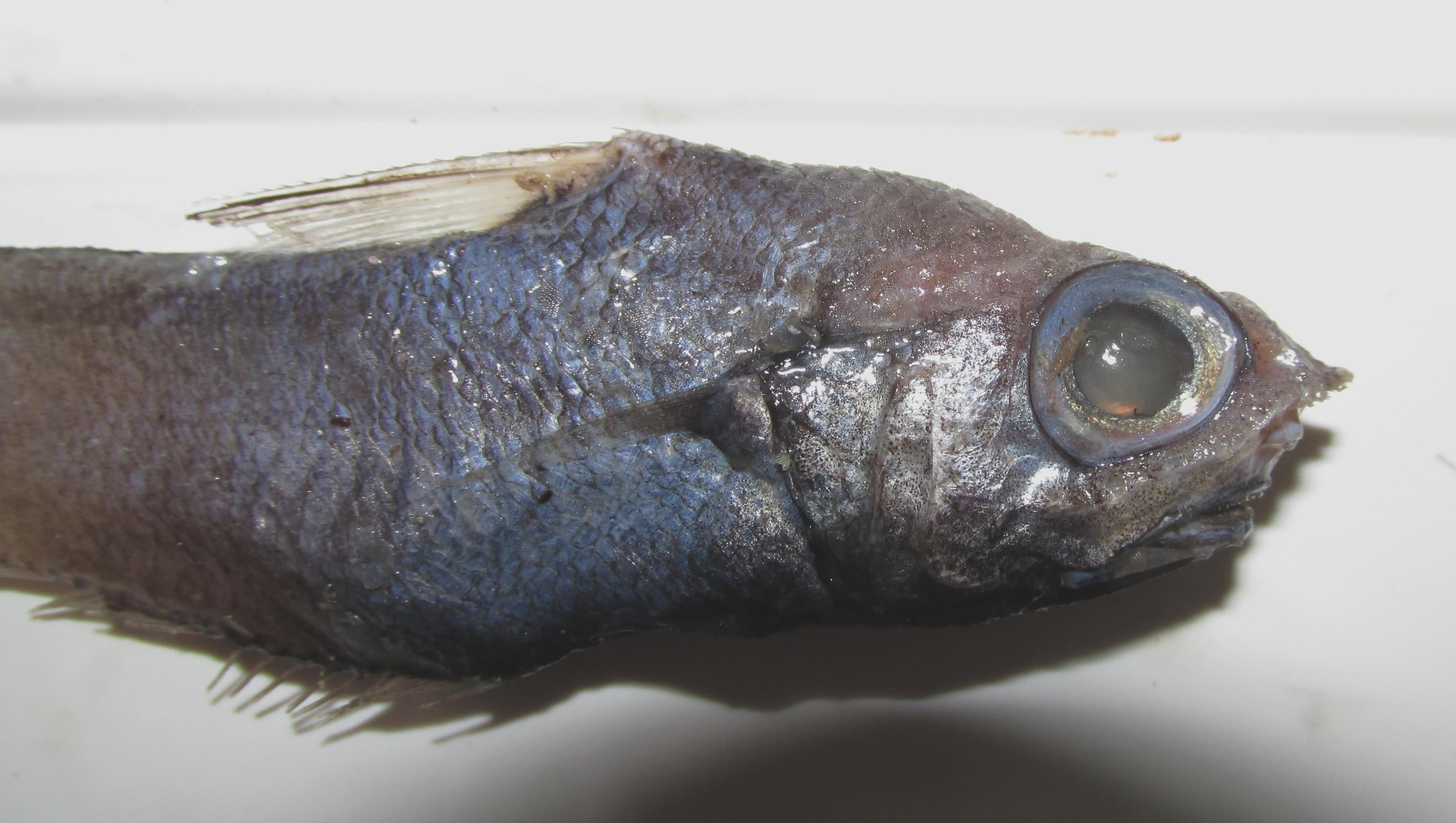 Resultado de imagen de Nezumia sclerorhynchus