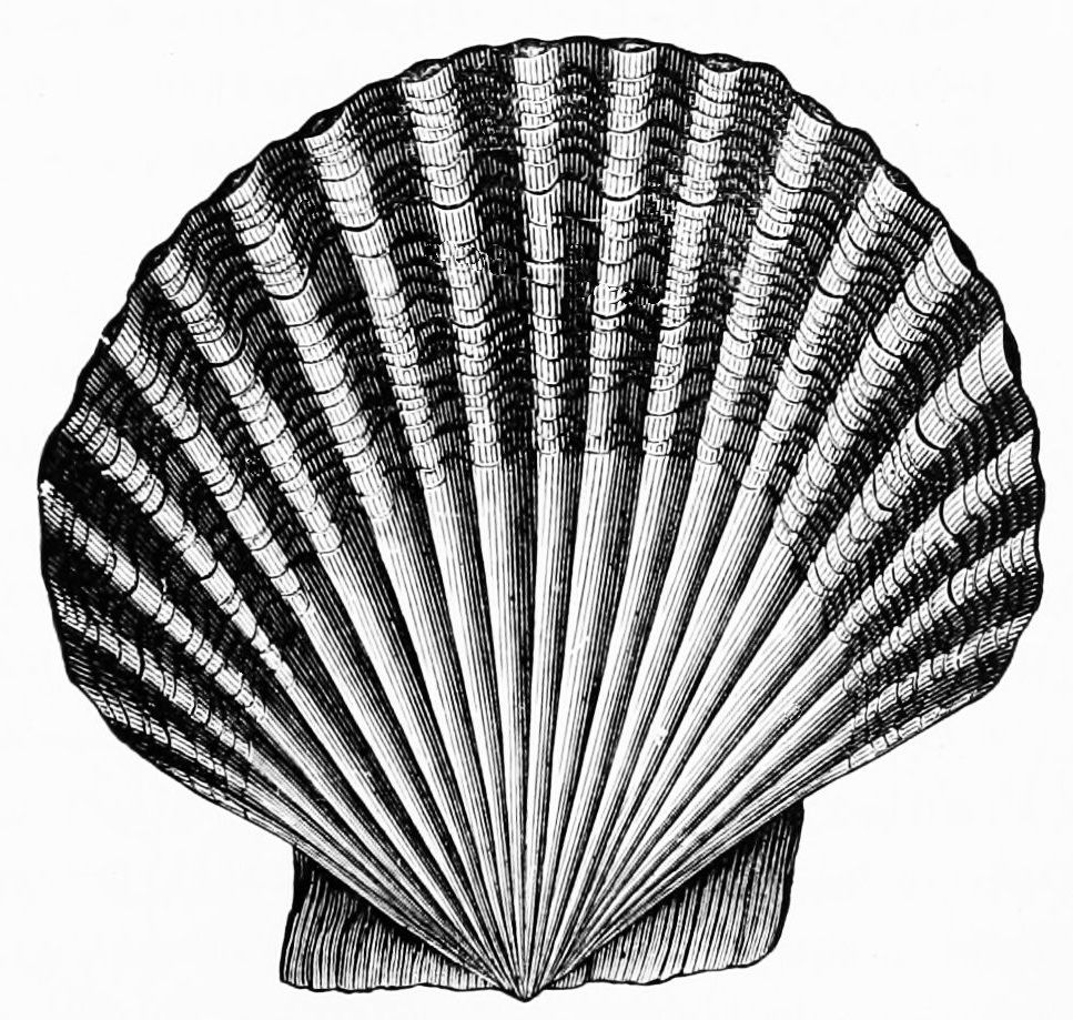 PSM V49 D563 Scallop shell.jpg