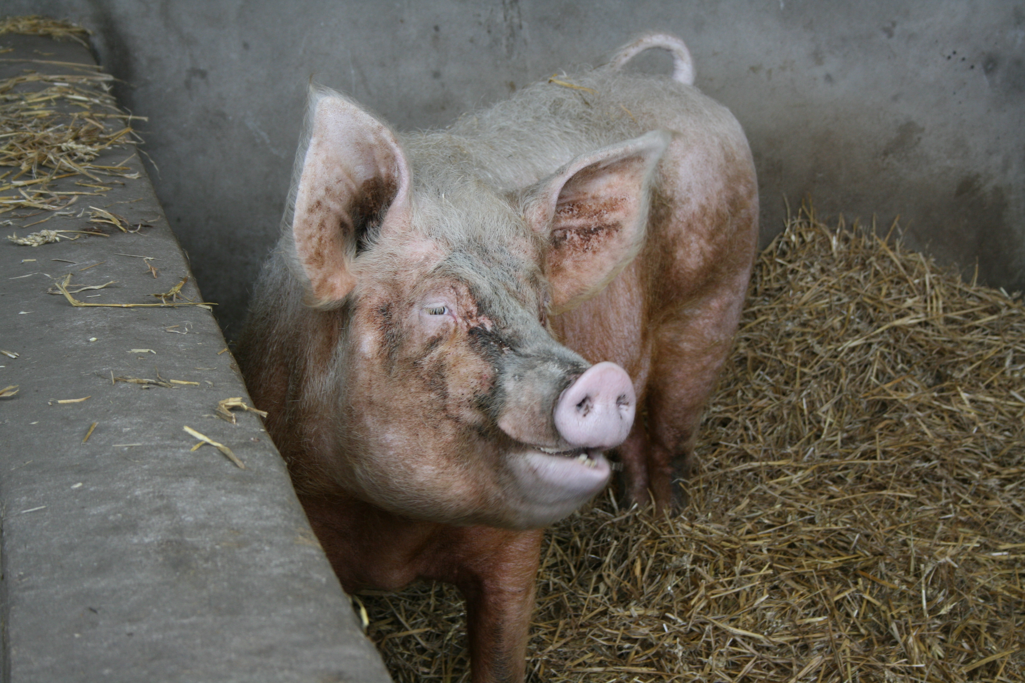 File Pig At Middle Farm Sussex Jpg Wikimedia Commons