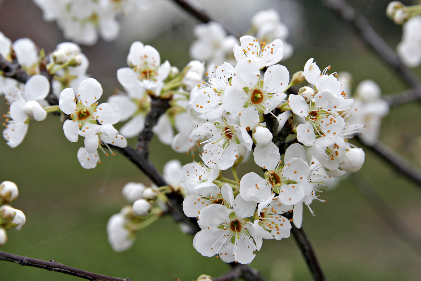 file plum blossoms jpg