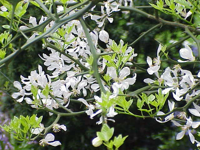 Image:Poncirus trifoliata1.jpg
