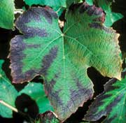 Agiorgitiko vines are very susceptible to suffering from potassium deficiency (effects pictured on a grape leaf)