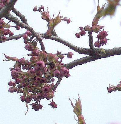 File:Prunus.serrulata01.jpg