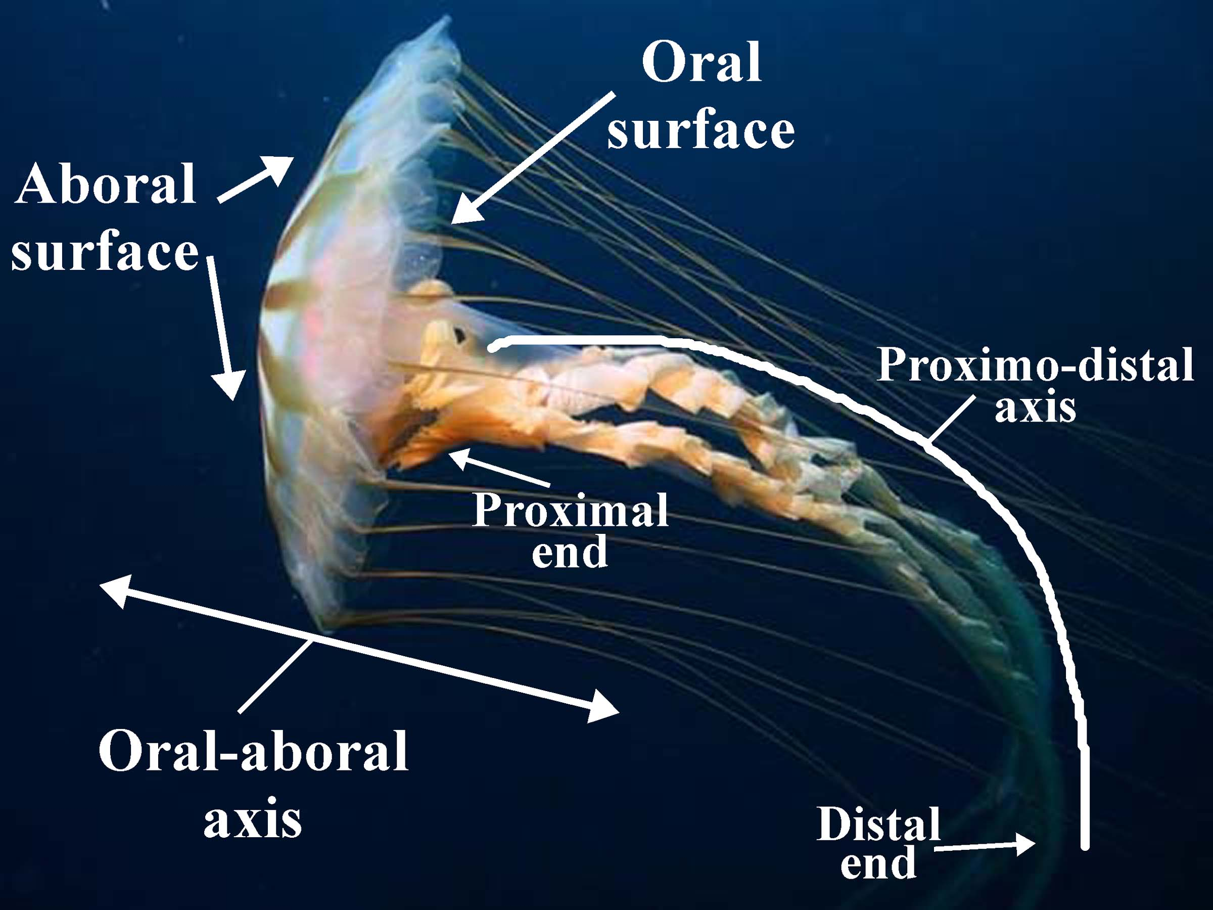 Figure 9: Chrysoara spp. (a jellyfish), showing the oral-aboral, and proximodistal axes. (Note that the appendages are not in standard anatomical position, so that the axis is curved.)