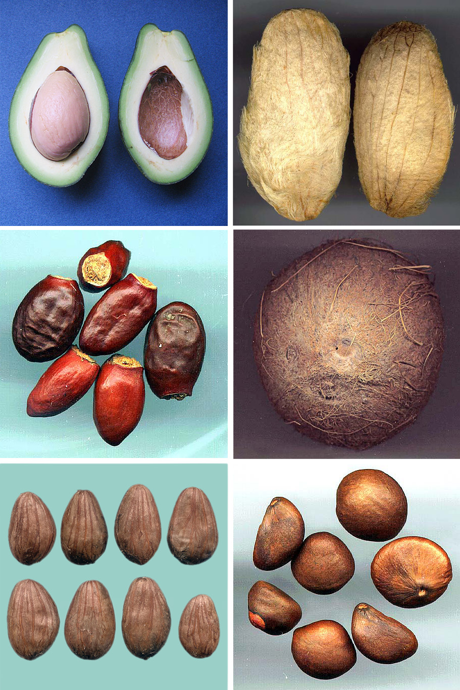 File:Recalcitrant tropical seed jpg - Wikimedia Commons