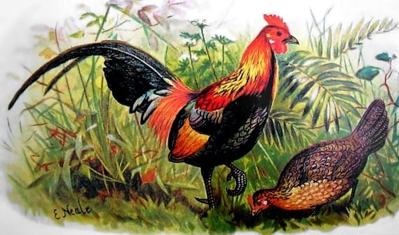 File:Red junglefowl hm.jpg