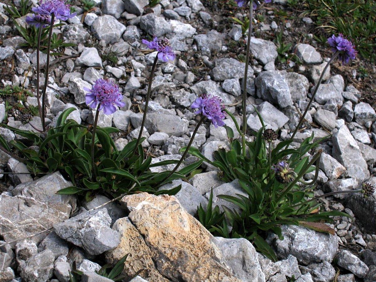 Semis de Scabiosa Scabiosa_silenifolia_PID1783-4