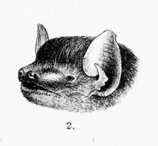 The average litter size of a Rüppell's broad-nosed bat is 1