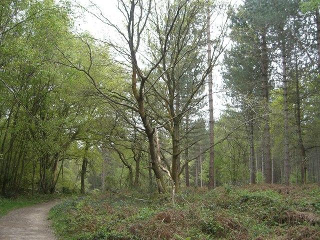 Scragged Oak Hill in St Leonard's forest - geograph.org.uk - 413049