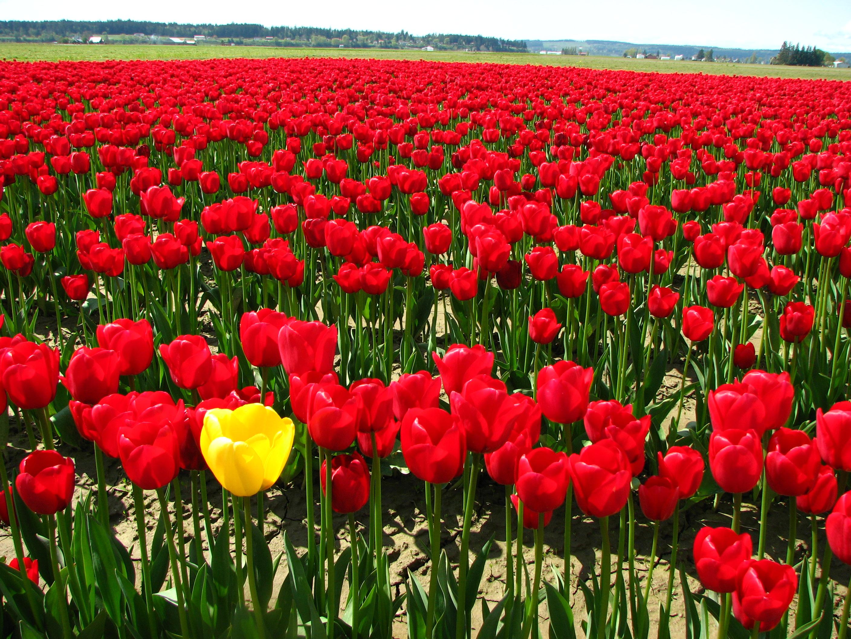 Soubor:Single yellow tulip in a field of red tulips.JPG ...