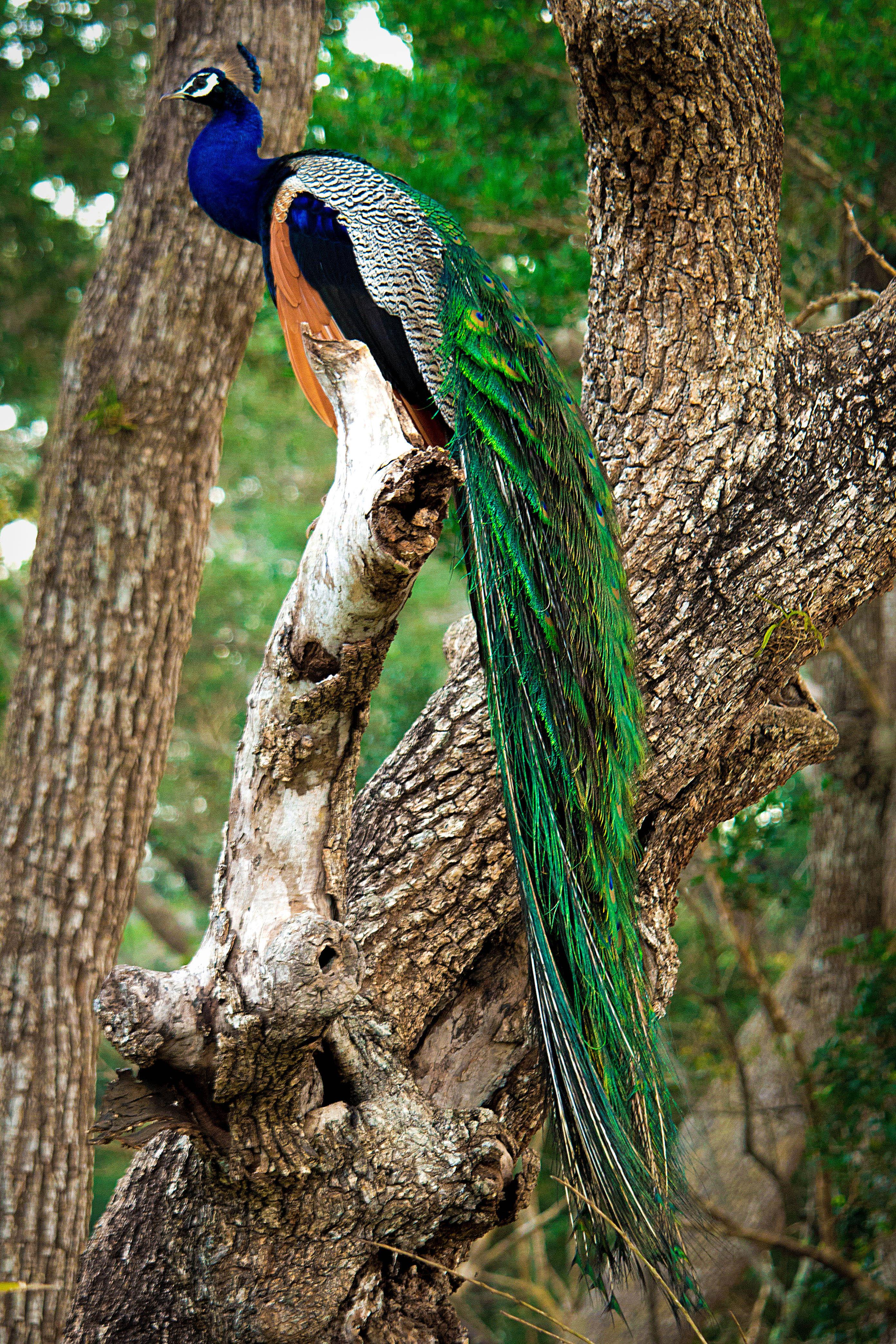 File Sri Lankan Beautiful Peacock Jpg Wikimedia Commons