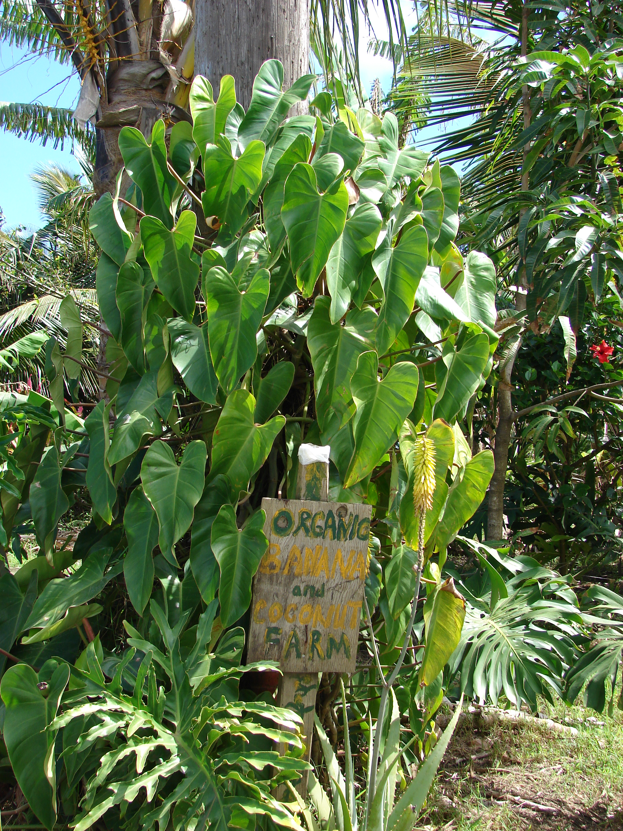 File:Starr 070306-5140 Philodendron sp  jpg - Wikimedia Commons