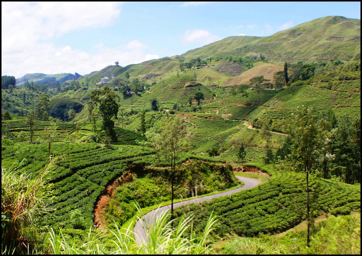 Tea Country.jpg