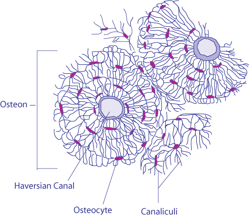 Microscope Drawing Worksheet Osteone - Wikipedia
