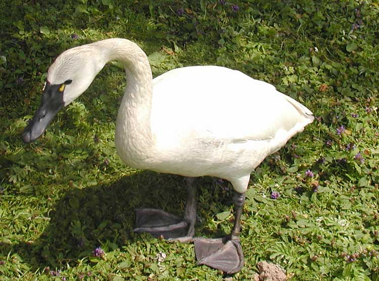 http://upload.wikimedia.org/wikipedia/commons/7/75/Tundra.swan.750pix.jpg