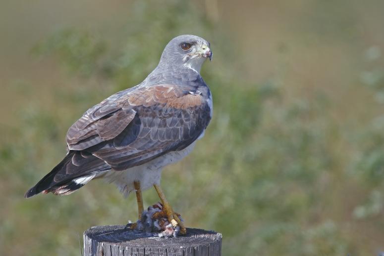 Ficheiro:White-tailed Hawk.jpg