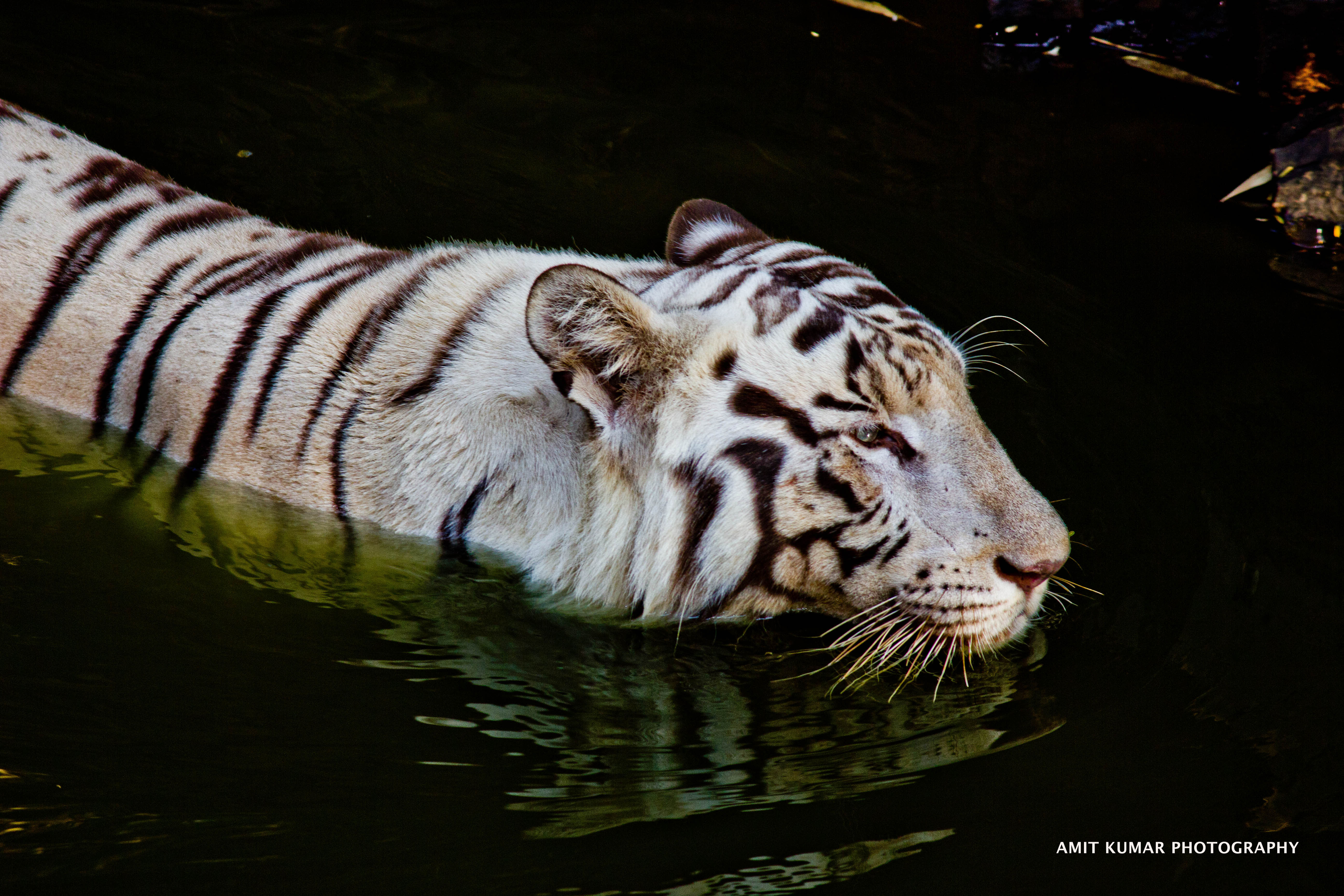 White tigers in water - photo#12