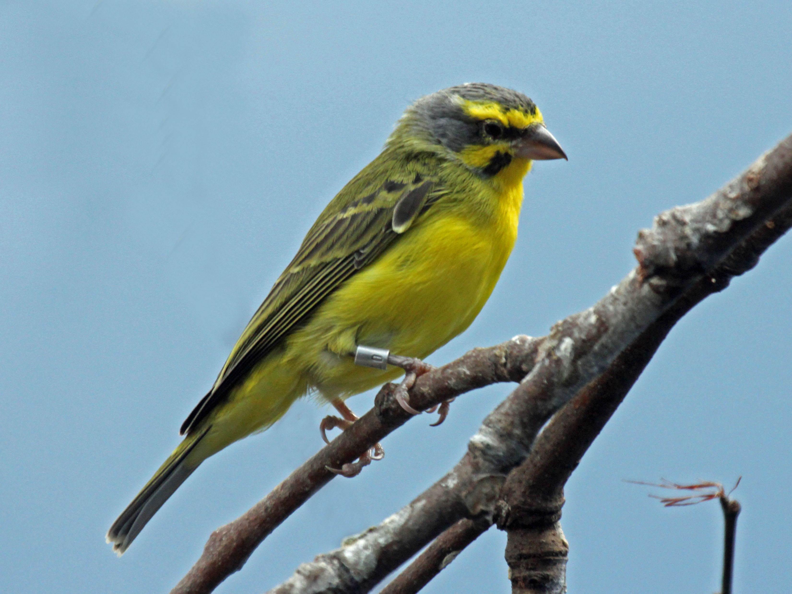 File:Yellow-fronted Canary RWD4.jpg - Wikimedia Commons