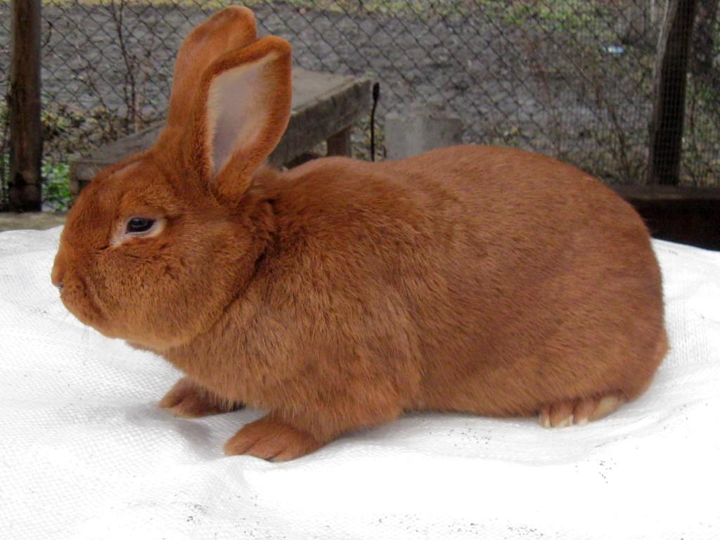 Кролики породы новозеландская красная частные объявления сандали частные объявления купить