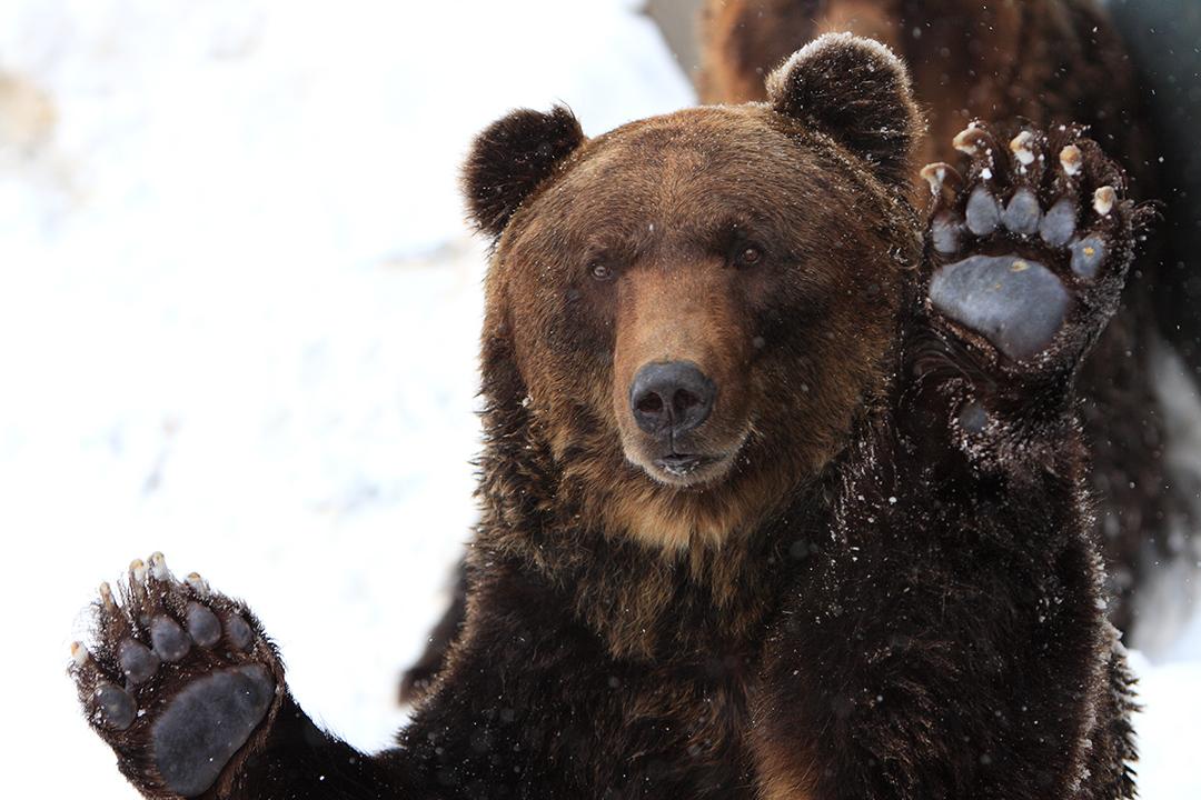бурый медведь шатун зимой фото экстремальностью предстоящем