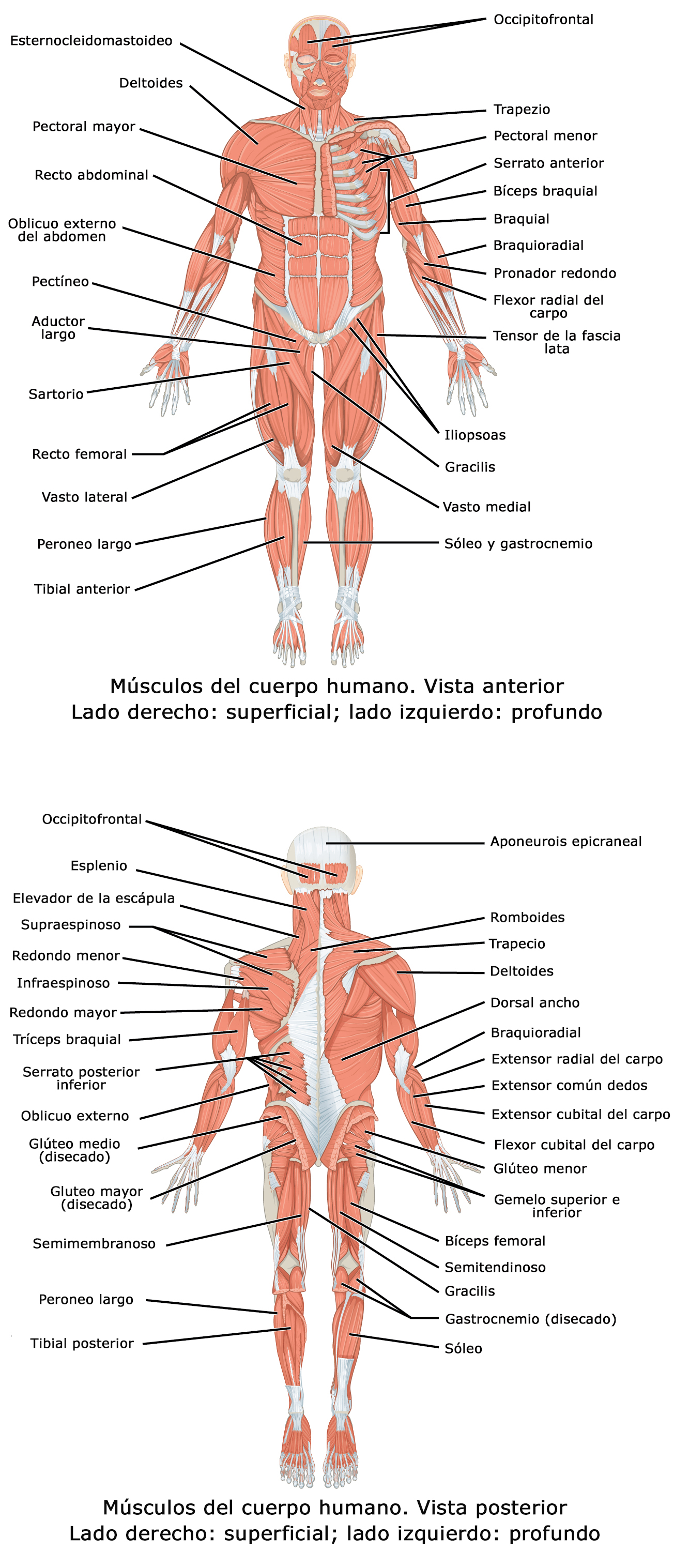 Archivo:1105 Anterior and Posterior Views of Muscles esp.jpg ...