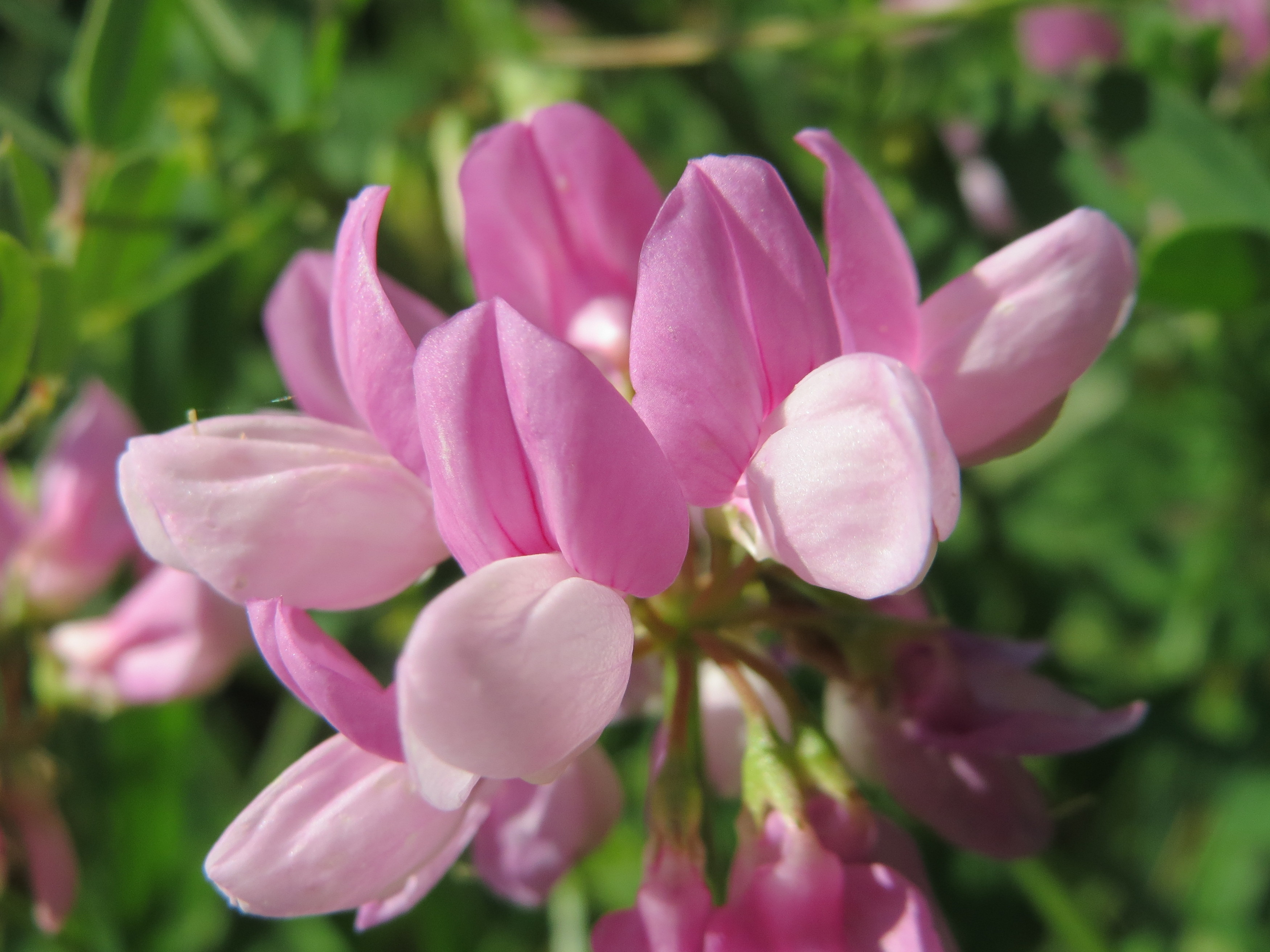 Horsedvm toxic plants for horses crownvetch family fabaceae toxins nitroglycosides flower izmirmasajfo