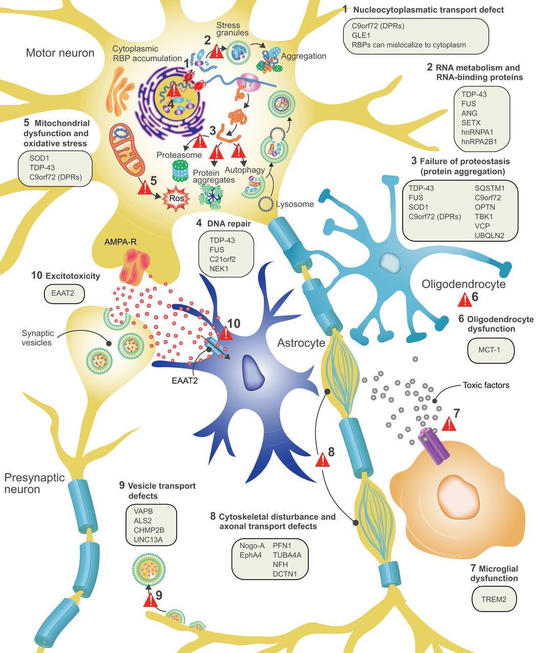 File ALS Disease Pathology And Proposed Disease Mechanisms